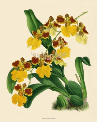 Oncidium Larkinianum